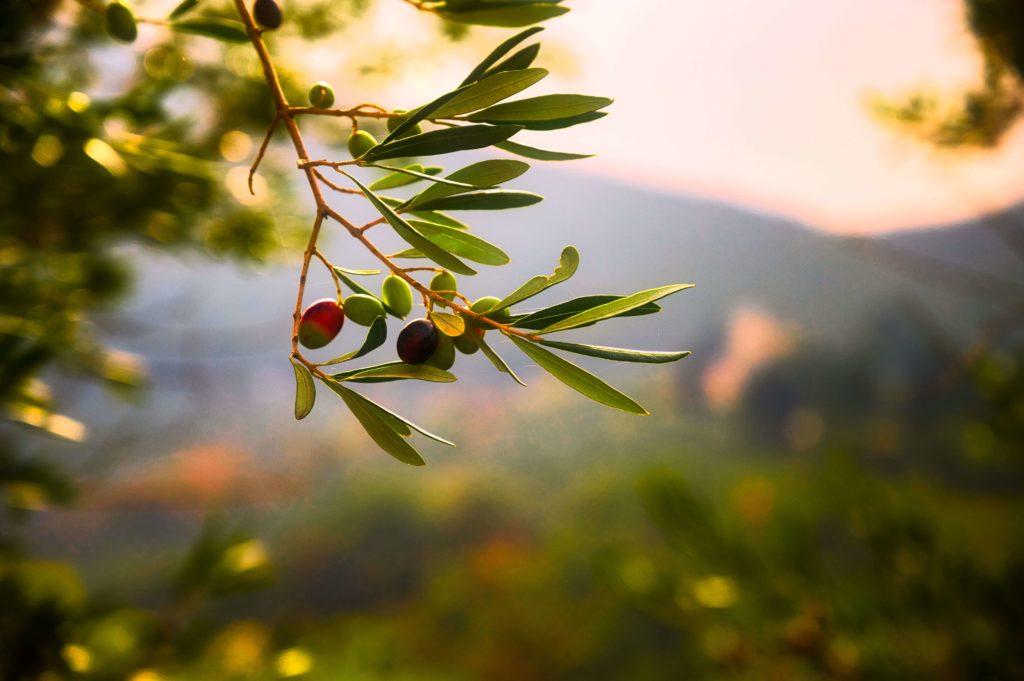 Olivenernte in Italien