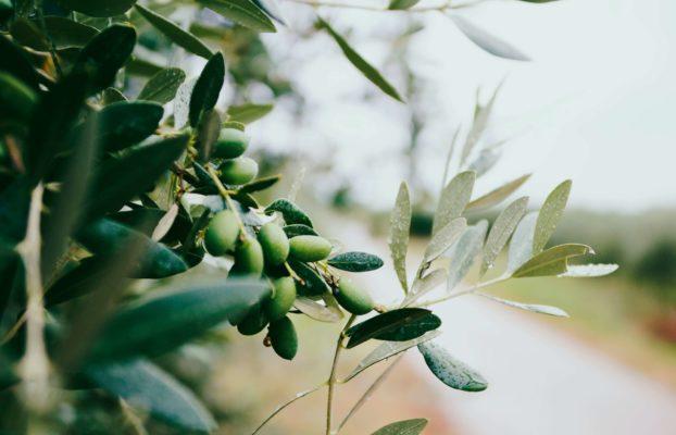 Wo und wann kann man am besten die Erfahrung der italienischen Olivenernte aus erster Hand erleben